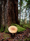 Giant mushrooms  at Kitsumkalum Provincial Park. Canada Stock Image