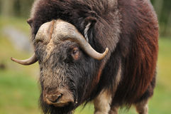 Giant musk ox. Portrait of an angry musk oxwith big horns Stock Photos