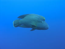 Giant Napoleon Fish. In deep blue water Stock Photography