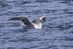 Giant Northern Petrel. Floating on ocean with wings spread Royalty Free Stock Images