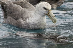 Giant Northern Petrel. Closeup of giant northern petrel floating on ocean feeding on underwater carcass Stock Images