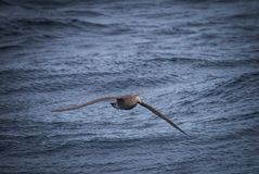 Giant northern petrel flies low to the water following ship. Near Falkland Islands Stock Photo