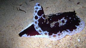 Giant nudibranch Pluarybrach was found during night dive stock footage