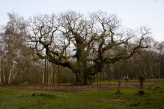 The Giant Oak Stock Images