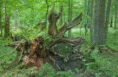 Giant oak broken. View from roots side stock image