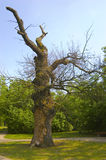 Giant oak in the park Royalty Free Stock Photography