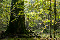 Giant oak tree grows among hornbeam Royalty Free Stock Image