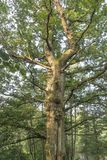 Giant oak tree Stock Image