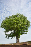 Giant Oak Tree. A very large oak tree above a stone wall Royalty Free Stock Image