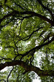 Giant oak Royalty Free Stock Photography