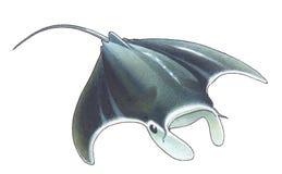 Giant Oceanic Manta Ray. (Manta birostris vector illustration