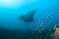 A giant oceanic manta ray at a cleaning station Stock Photography