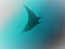 Giant Oceanic Manta Ray. A Giant Manta Ray flies through the Pacific currents off the Flamingo Coast of Costa Rica. The vibrant fish life attracts these animals Stock Photos