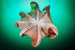 Giant octopus Dofleini. Stock Images