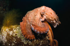 Giant octopus Dofleini sitting on a boulder Stock Photography