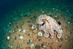 Giant octopus dofleini walking on sea floor Stock Photos
