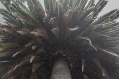 Giant old palm tree Royalty Free Stock Photography