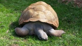Giant Old Tortoise. Huge turtle that lives  for many years Stock Photo