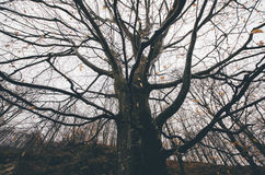 Giant old tree with big branches in autumn after the fall in mysterious fairy tale forest Royalty Free Stock Images