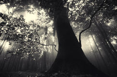 Giant old tree in dark forest with sun rays Stock Images