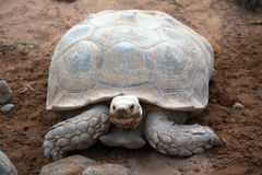Giant old turtle on sand Royalty Free Stock Photography