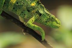Giant one-horned chameleon Royalty Free Stock Photos