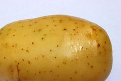 Giant one single potato close up aside the background royalty free stock images