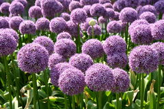 Giant Onion. (Allium Giganteum) blooming in a garden royalty free stock photography
