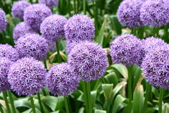 Giant Onion. (Allium Giganteum) blooming in a garden stock photography