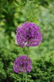 Giant Onion (Allium Giganteum) Royalty Free Stock Photos