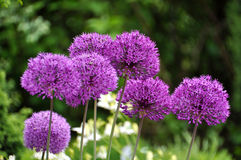 Giant Onion (Allium Giganteum) Stock Images