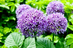 Giant Onion (Allium Giganteum) blooming in a garden Stock Images