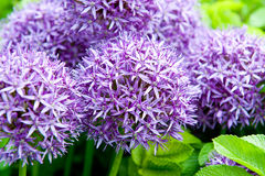 Giant Onion (Allium Giganteum) blooming in a garden Royalty Free Stock Images