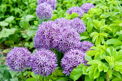 Giant Onion (Allium Giganteum) blooming in a garden Royalty Free Stock Photography