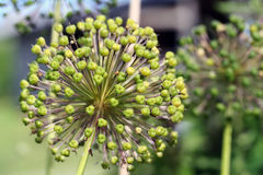 Giant Onion (Allium giganteum) Royalty Free Stock Images