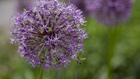 Giant onion. With a bee which is pollinating the flower stock photos
