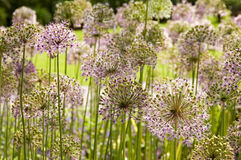 Giant Onion flowers. Purple giant ornamental onion umbles royalty free stock photos