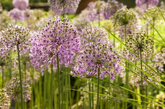 Giant Onion flowers. Giant purple ornamental onion umbles stock photo
