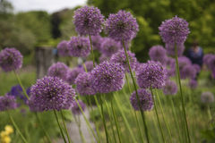 Giant onion. Flowers with blurred background stock photography