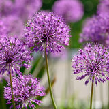 Giant onion flowers Royalty Free Stock Photos