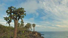 Giant Opuntia Cactus in Santa Fe Island Stock Photo