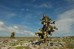 Giant Opuntia Cactus in South Plaza Island Royalty Free Stock Photos