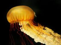 Giant orange jellyfish Stock Image
