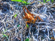 Giant orange Lubber Grasshopper looking at camera Royalty Free Stock Photography