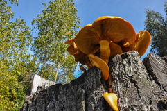 Giant Orange mushroom, near Puerto Varas, Chile Stock Images