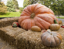 Giant Orange Pumpkin Stock Images