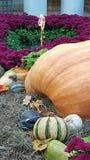 Giant Orange Pumpkin and Gourdes Stock Images