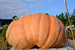 Giant Orange Pumpkin Stock Image