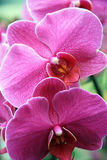 Giant orchid Royalty Free Stock Photos