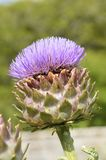 Giant Ornamental Scottish thistle Royalty Free Stock Photo